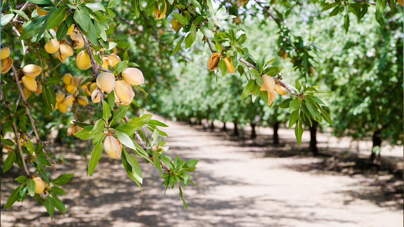 Almond trees are healthier with Sensoterra soil moisture probes
