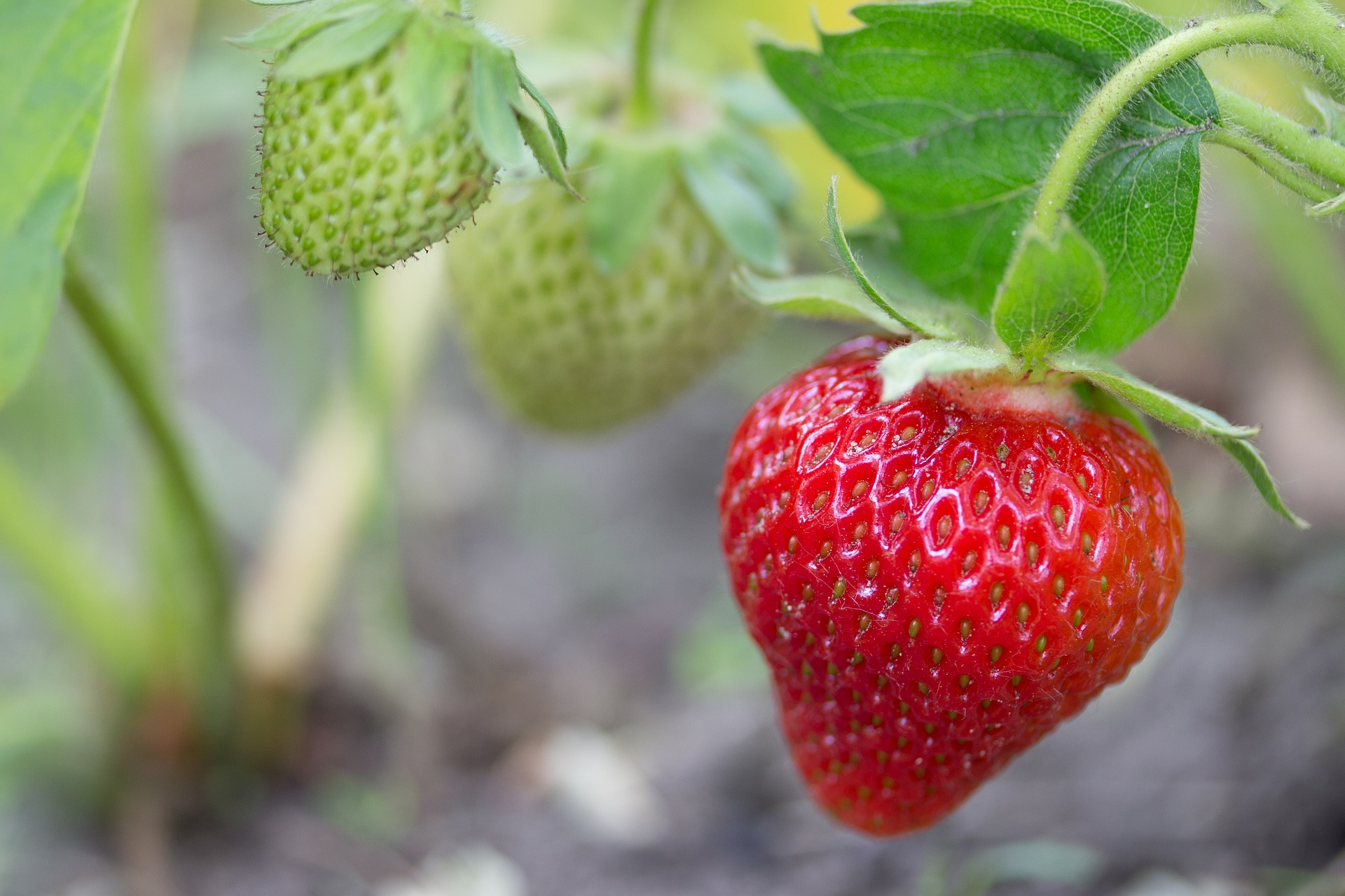 Strawberries - setting up a test location